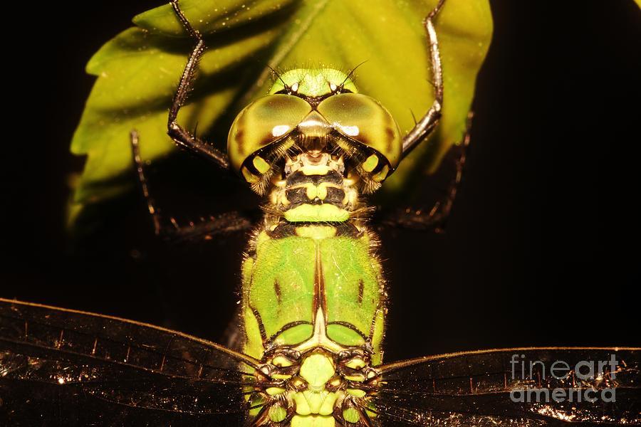 Eastern Pondhawk Dragonfly Photograph - Dragonfly Closeup by Lynda Dawson-Youngclaus