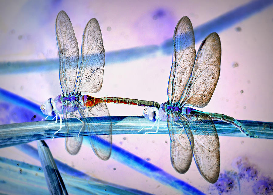 Dragonfly Fantasy Photograph