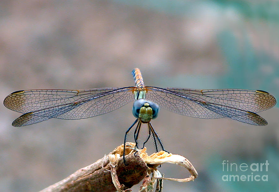 Dragonfly Headshot Photograph  - Dragonfly Headshot Fine Art Print