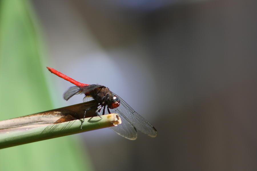 Dragonfly IIi Photograph