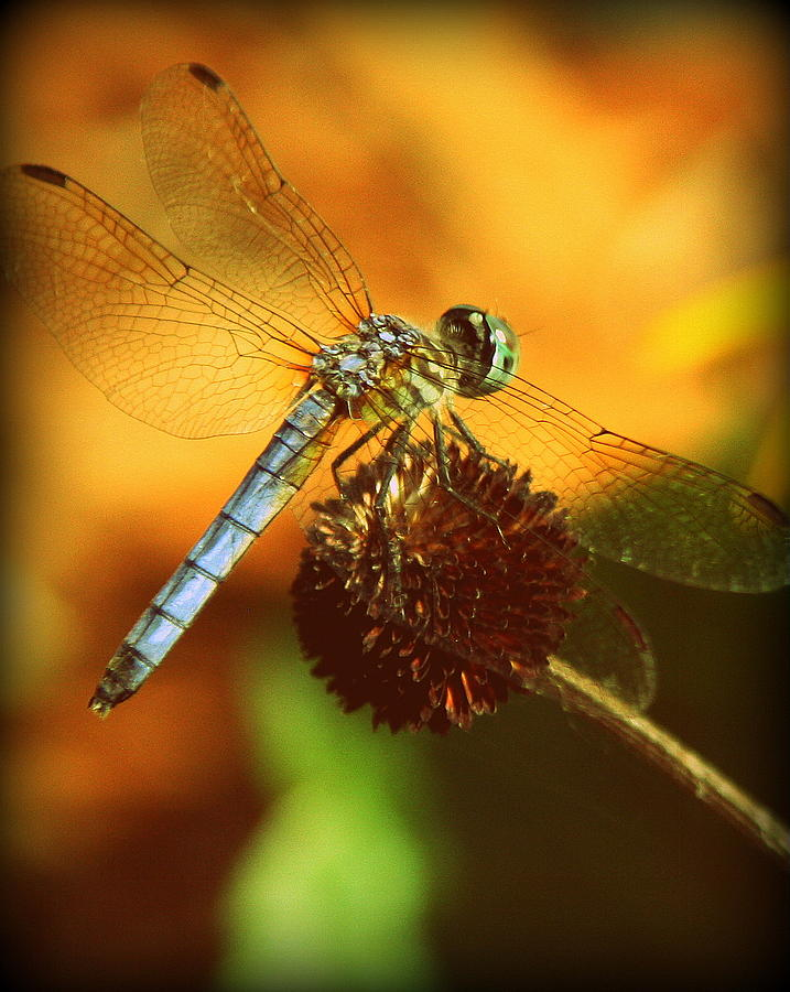 Dragonfly Photographs Photograph - Dragonfly On A Dried Up Flower by Tam Graff