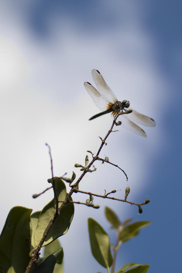 Dragonfly On A Limb Photograph