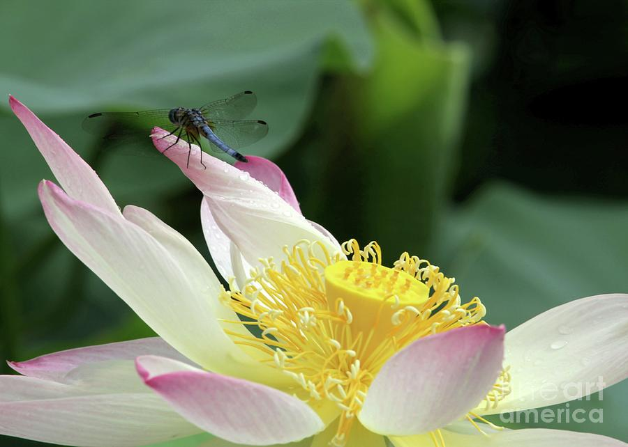 Dragonfly On Lotus Photograph