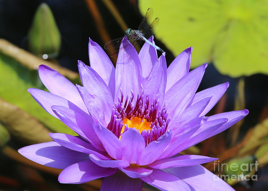 Dragonfly On Water Lily Photograph  - Dragonfly On Water Lily Fine Art Print