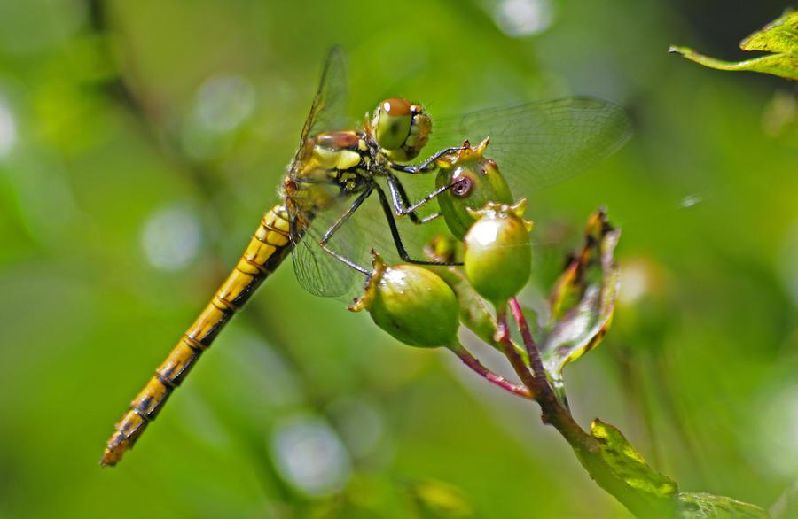 - dragonfly-thomas-maya