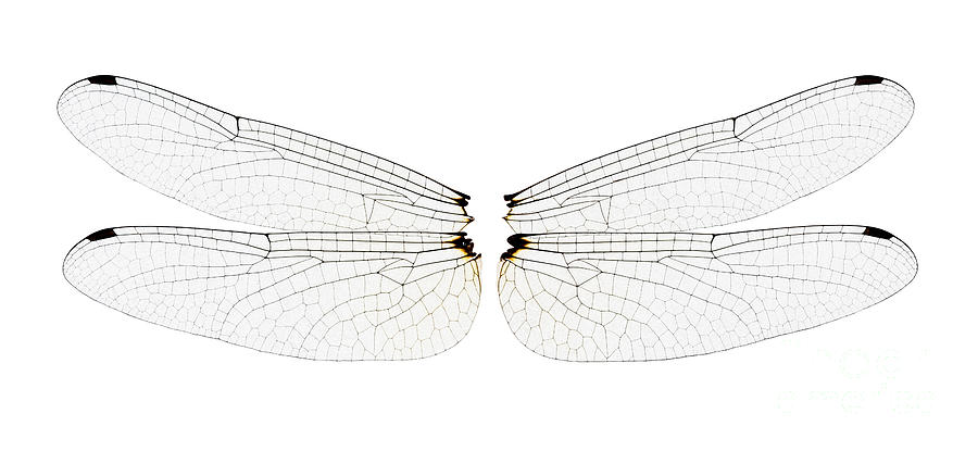 Dragonfly Wings Photograph  - Dragonfly Wings Fine Art Print