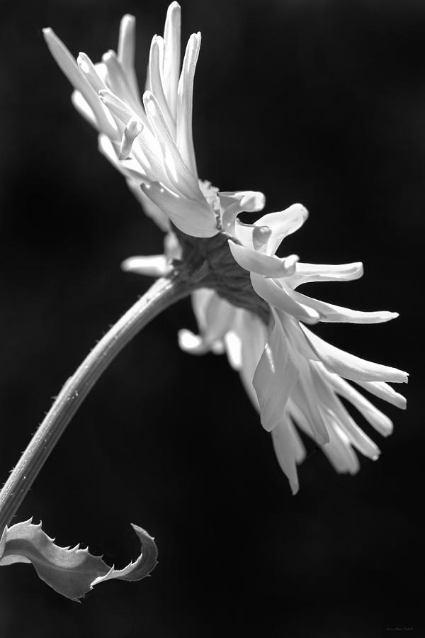 Shasta Daisy Photograph - Dramatic Daisy Flower Black And White by Jennie Marie Schell
