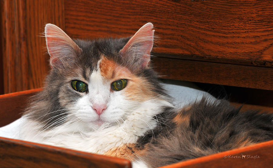 Drawer Kitty Photograph  - Drawer Kitty Fine Art Print