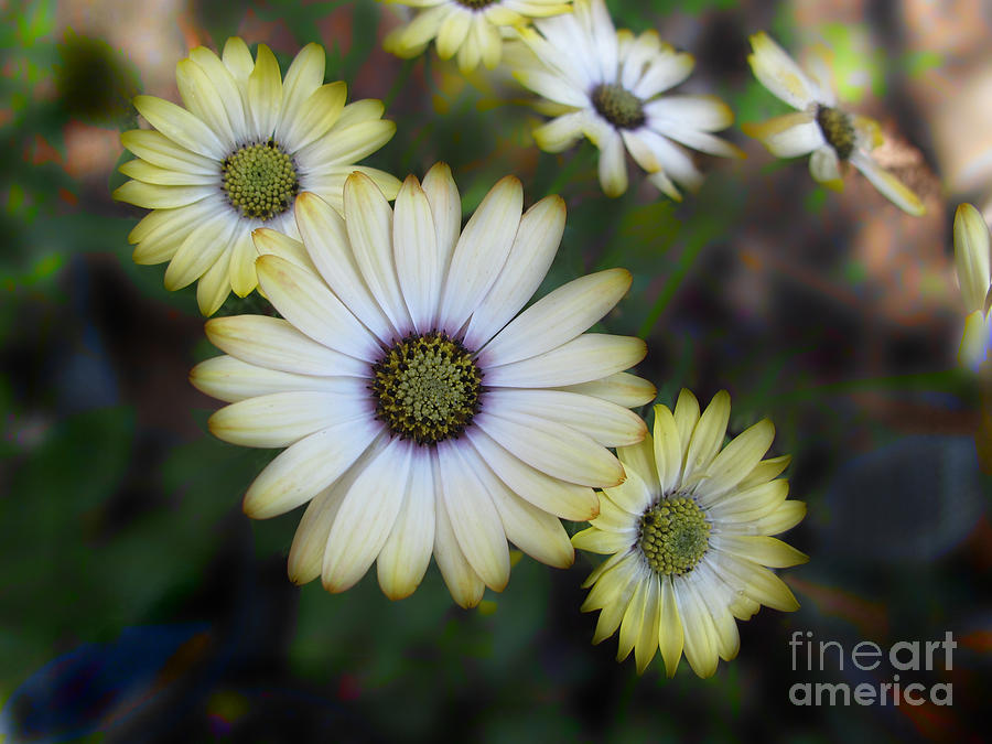 Dream Daisy Photograph  - Dream Daisy Fine Art Print