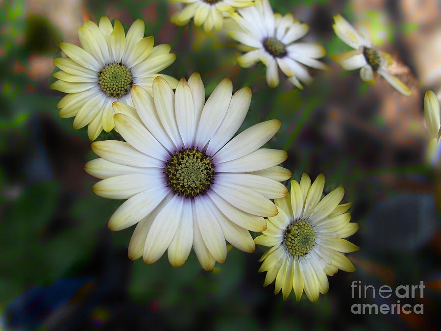 Daisy Photograph - Dream Daisy by Arlene Carmel