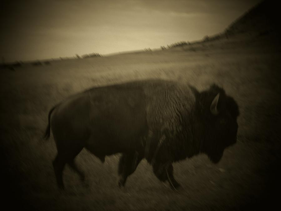 Dream Of Buffalo Photograph