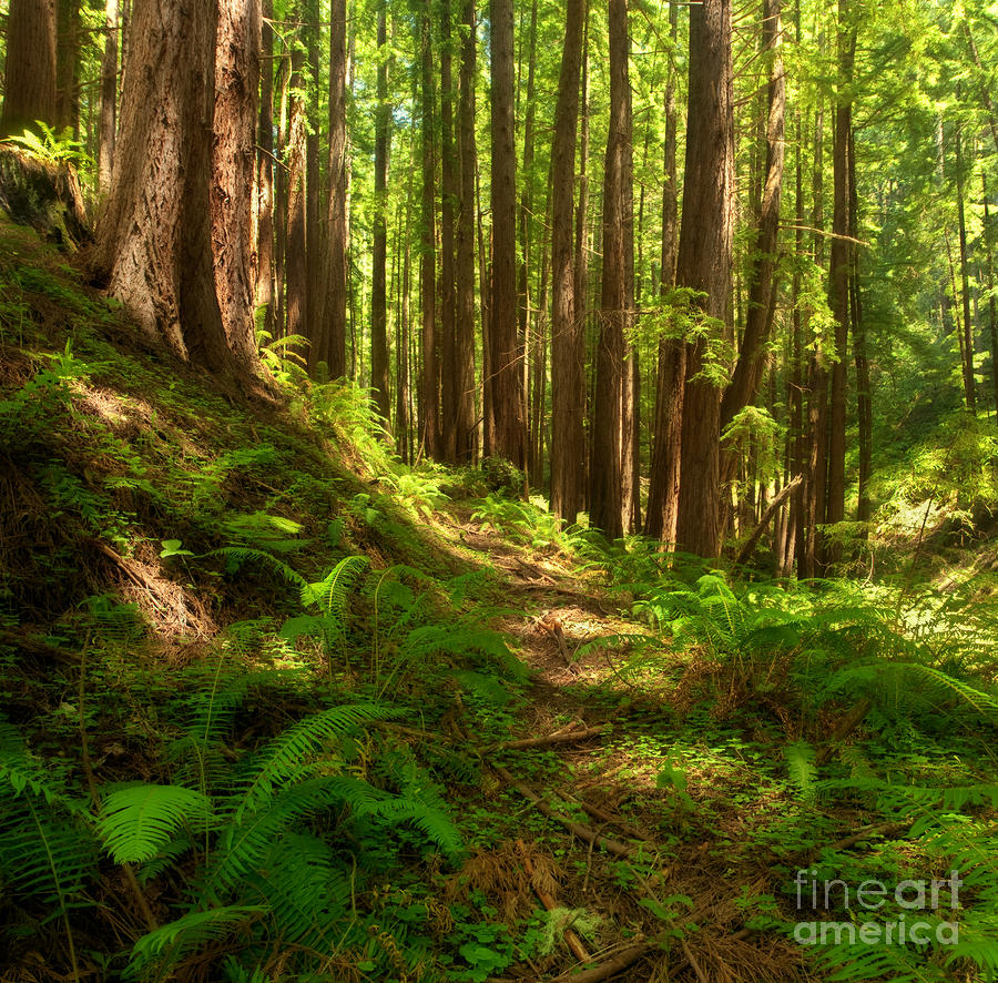 Dreamy California Redwoods Photograph
