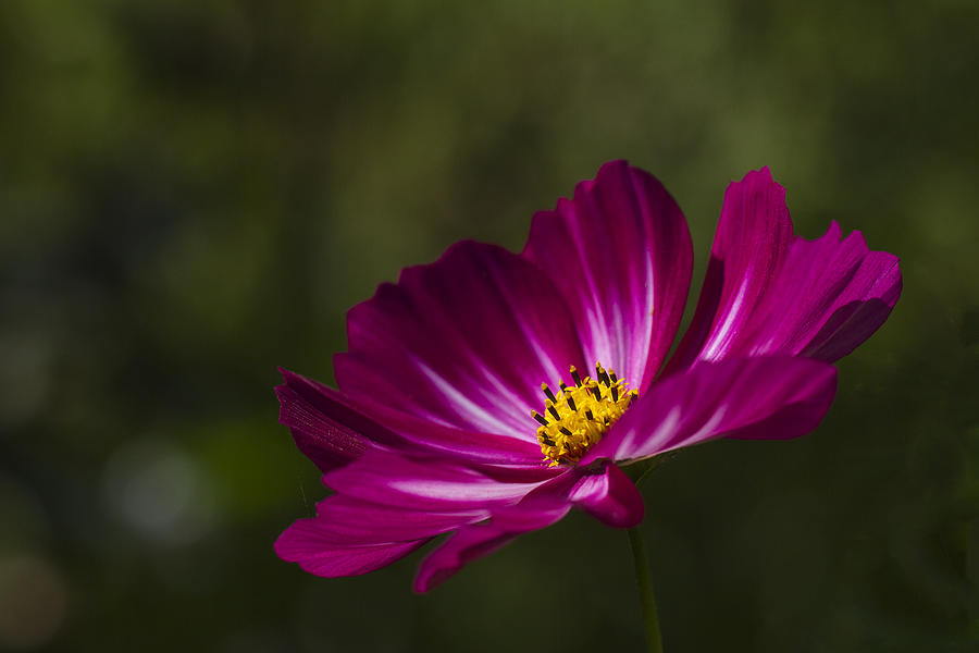 Clare Bambers Photograph - Dreamy Pink Cosmos by Clare Bambers