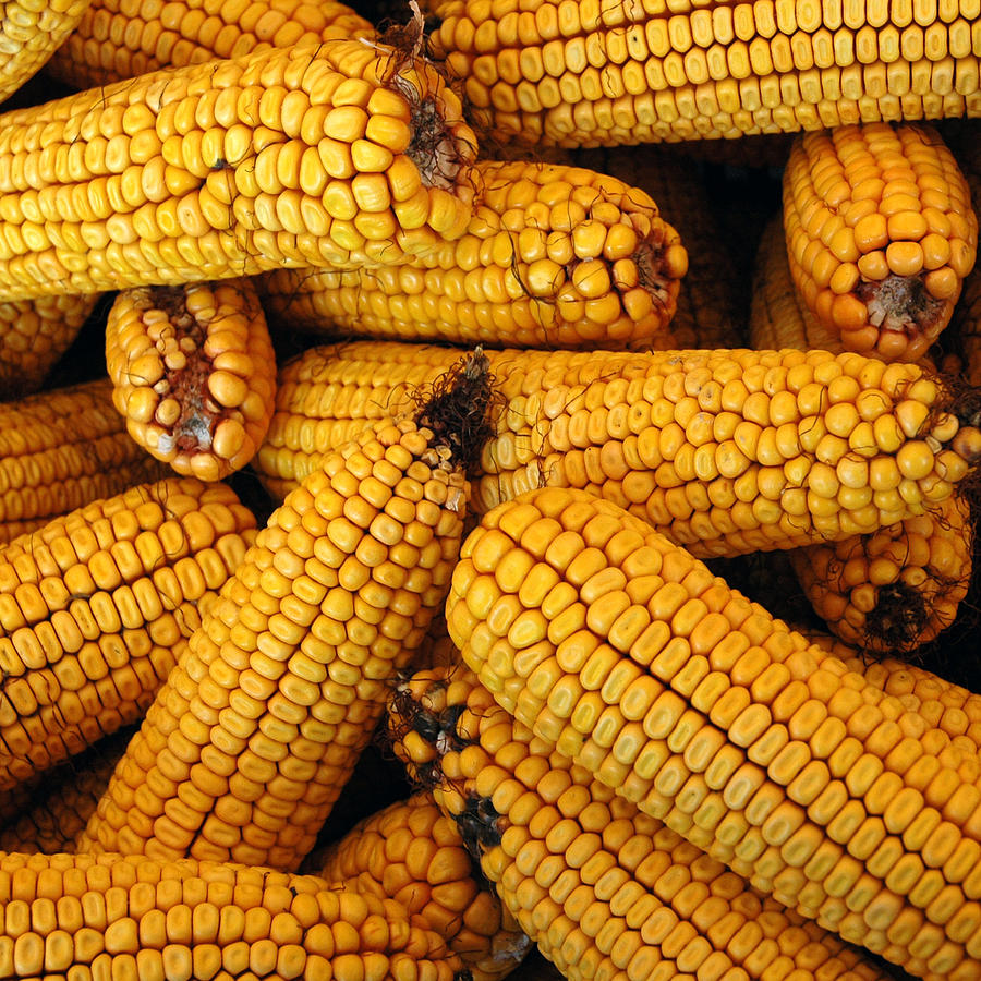 Dried Corn Cobs Photograph