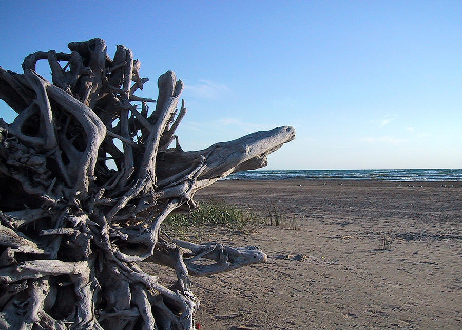 Driftwood Roots Photograph