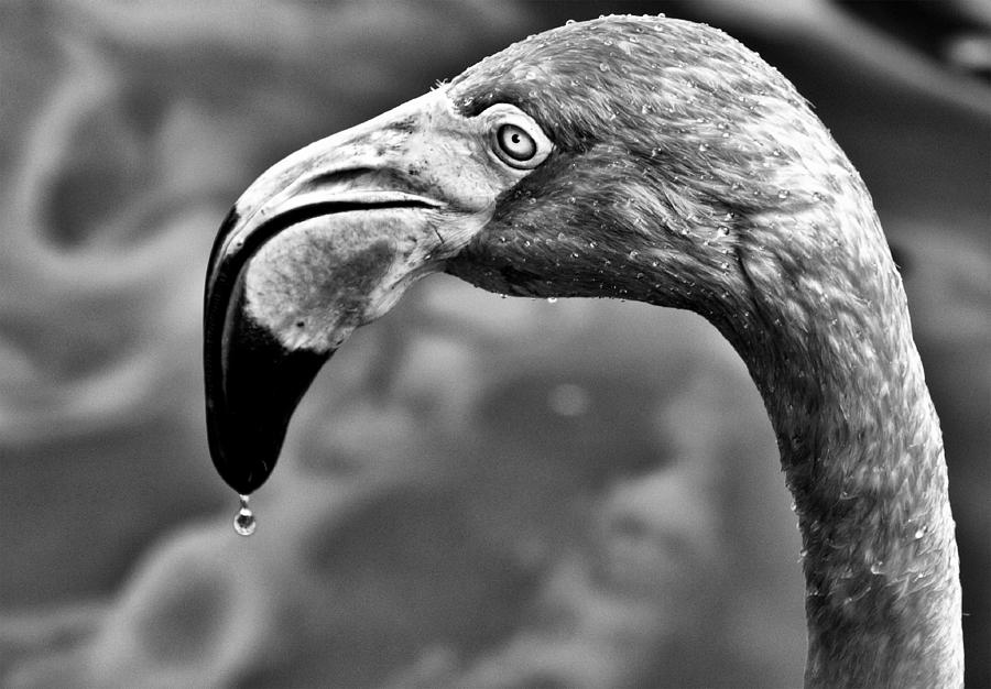 Dripping Flamingo - Bw Photograph