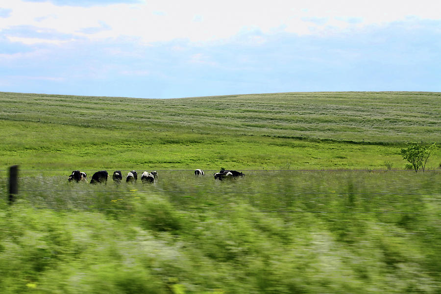 Driveby Shooting No.17 Cows Photograph  - Driveby Shooting No.17 Cows Fine Art Print