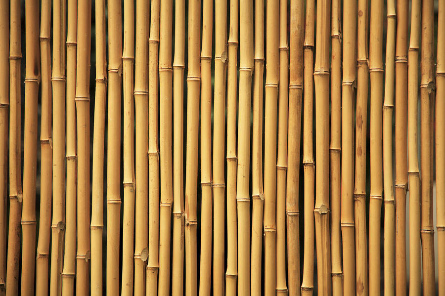 Dry Bamboo Rows Photograph