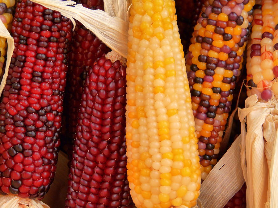 Dried Indian Corn For Sale