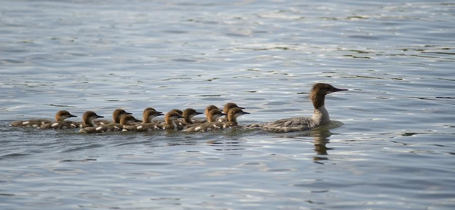 Duck And Ducklings Swimming In A Row Photograph