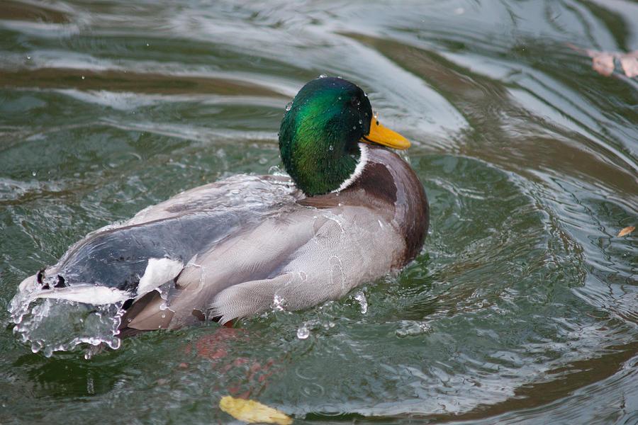 Bath Photograph - Duck Bathing Series 5 by Craig Hosterman