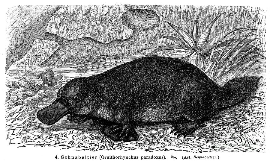 Duck-billed Platypus is a photograph by Granger which was uploaded on ...