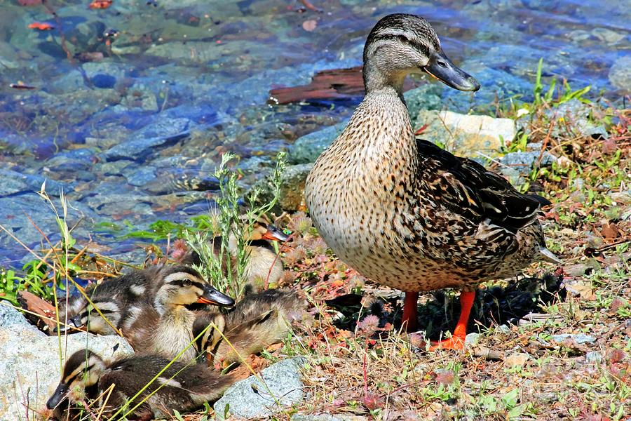 Duck Family Photograph  - Duck Family Fine Art Print