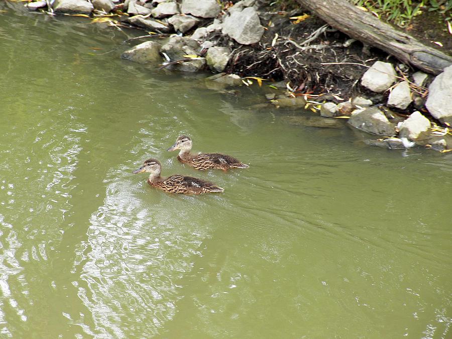 Duckling Pair Photograph
