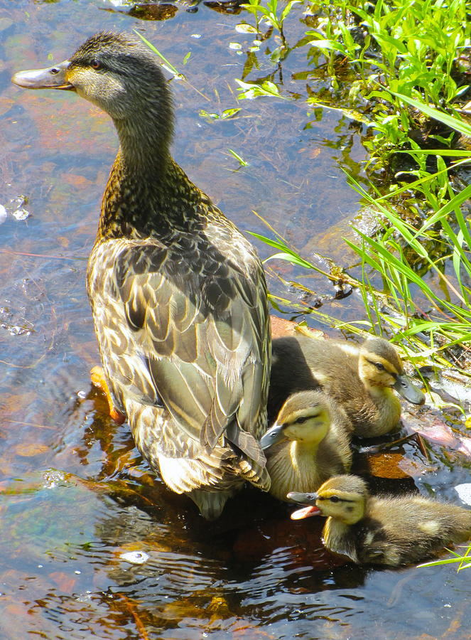 Wildlife Photo Pyrography - Ducklings by Sarah Gayle Carter