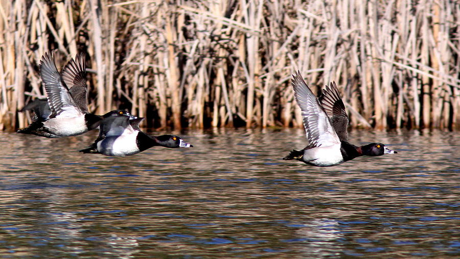 Ducks - Ring Neck - Hold Up Photograph