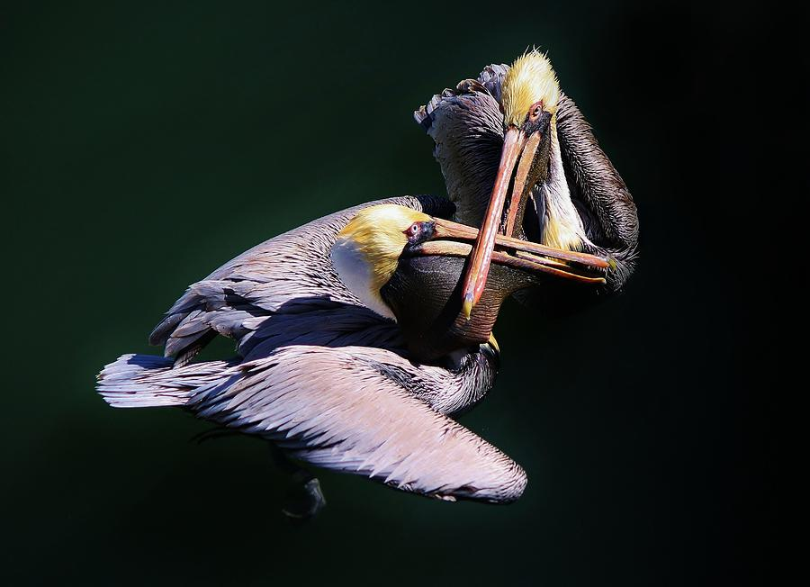 Dueling Pelicans Photograph