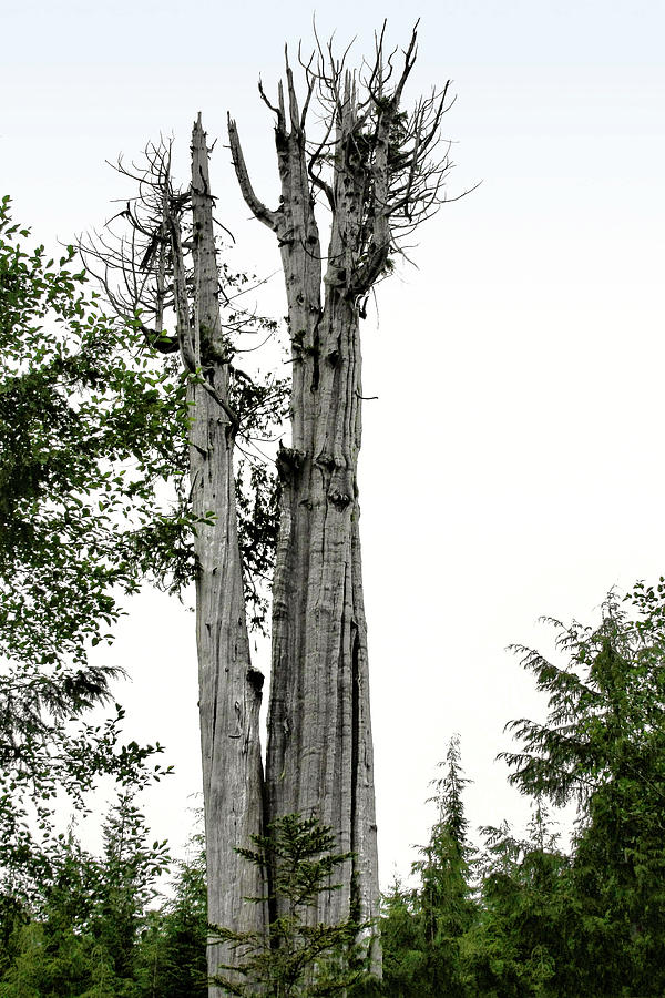 Duncan Memorial Big Cedar Tree - Olympic National Park Wa Photograph