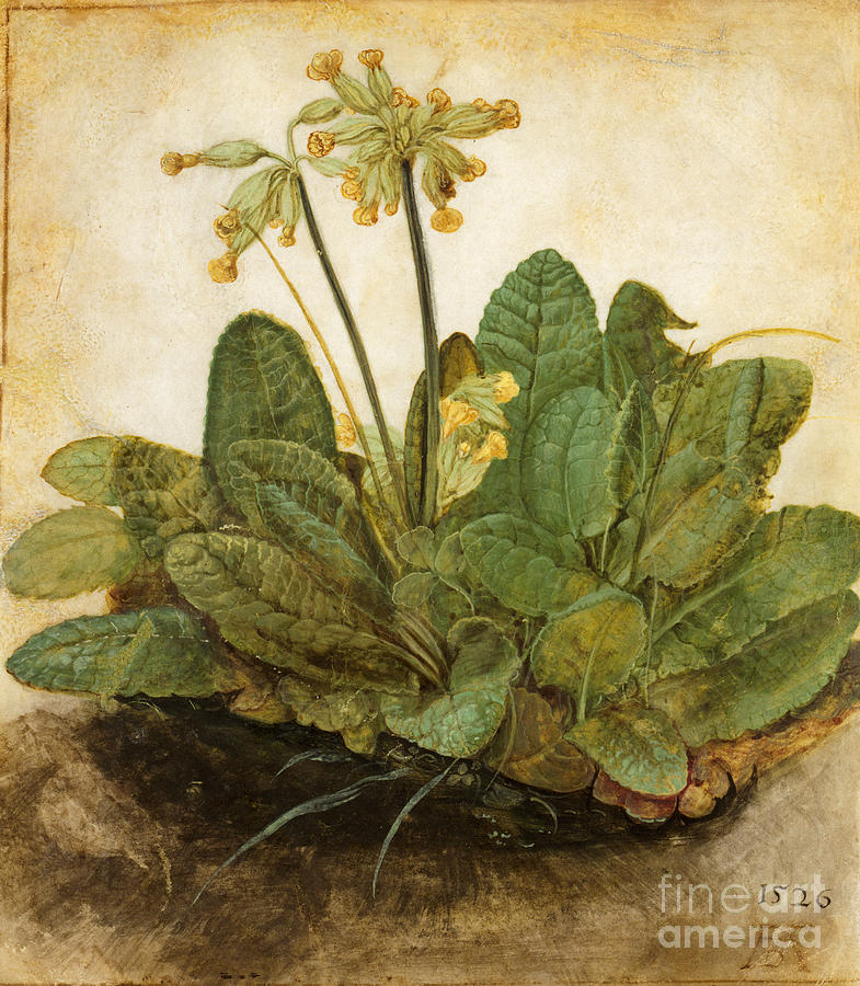 Durer Tuft Of Cowslips Photograph