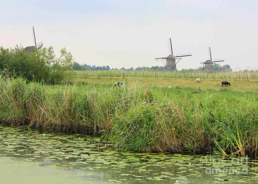 Dutch Landscape With Windmills And Cows Photograph