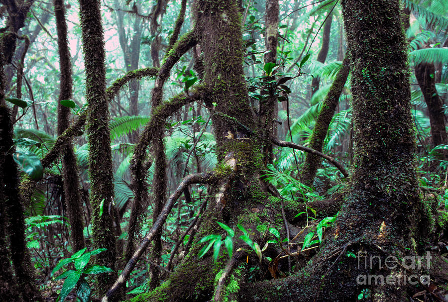 Dwarf Forest Mist El Yunque Photograph