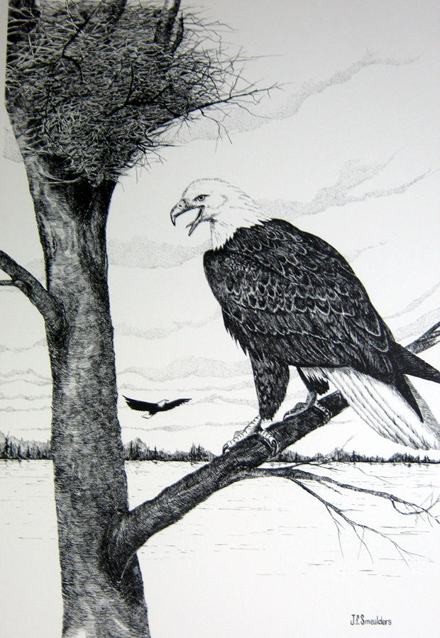 Eagle At Nest Drawing  - Eagle At Nest Fine Art Print