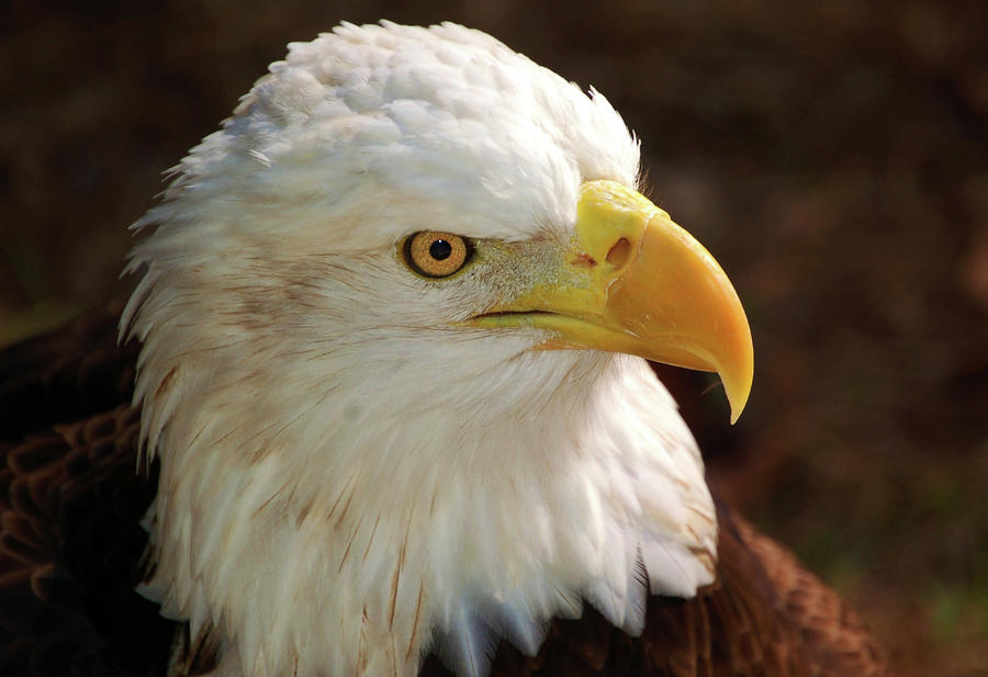 Eagle Eye Photograph  - Eagle Eye Fine Art Print