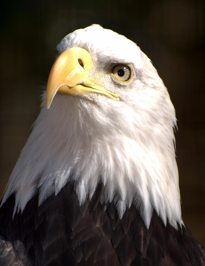 Eagle Photograph - Eagle Eye by Marty Koch