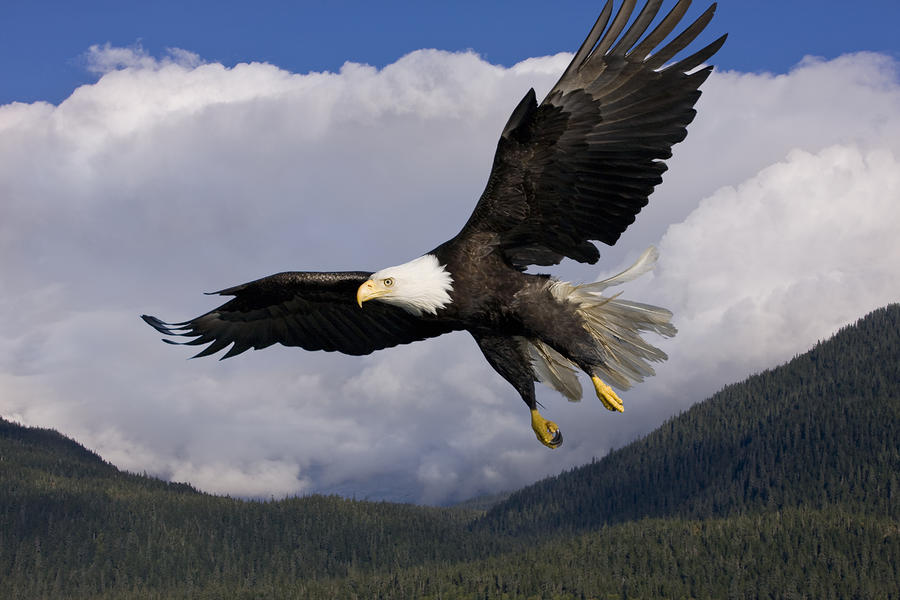Eagle Flying In Sunlight Photograph