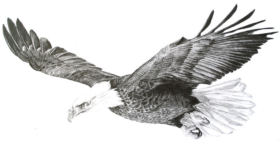 Eagle In Flight Drawing By Sue Miles