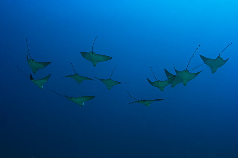 Eagle Rays In Ocean Photograph  - Eagle Rays In Ocean Fine Art Print