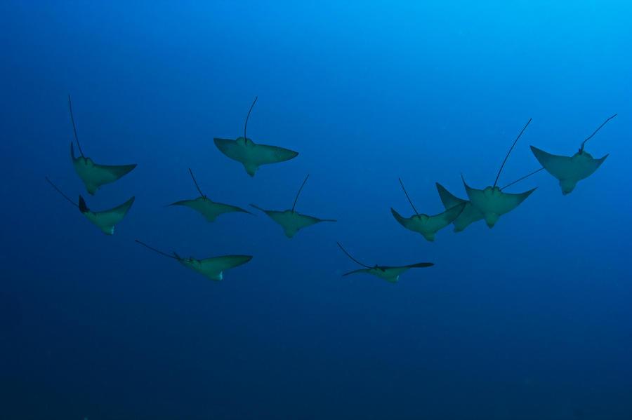 Eagle Rays In Ocean Photograph