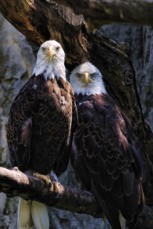 Eagles Photograph  - Eagles Fine Art Print