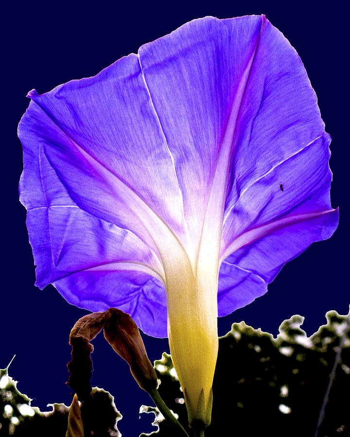 Morning Glory Photo Fine Art Photograph - Early Morning Glory by Roy Foos