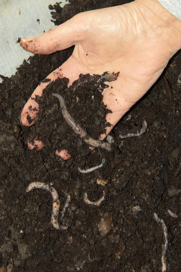 Earthworms In Soil Photograph