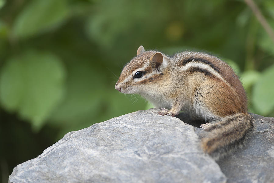 Eastern Chipmunk Tamias Striatus Photograph  - Eastern Chipmunk Tamias Striatus Fine Art Print