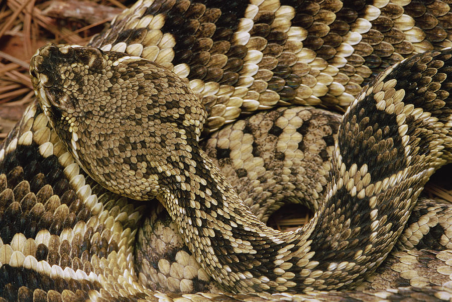Rattlesnake Facts And Information Eastern Rattlesnake Facts