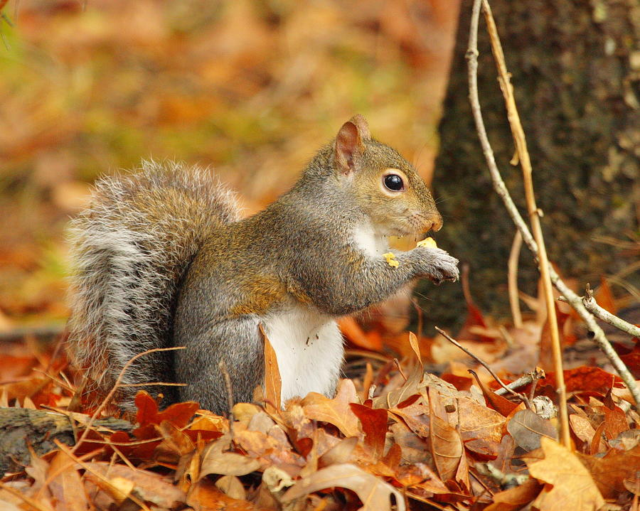 Eastern Grey Squirrel Photograph - Eastern Grey Squirrel by Andrew McInnes
