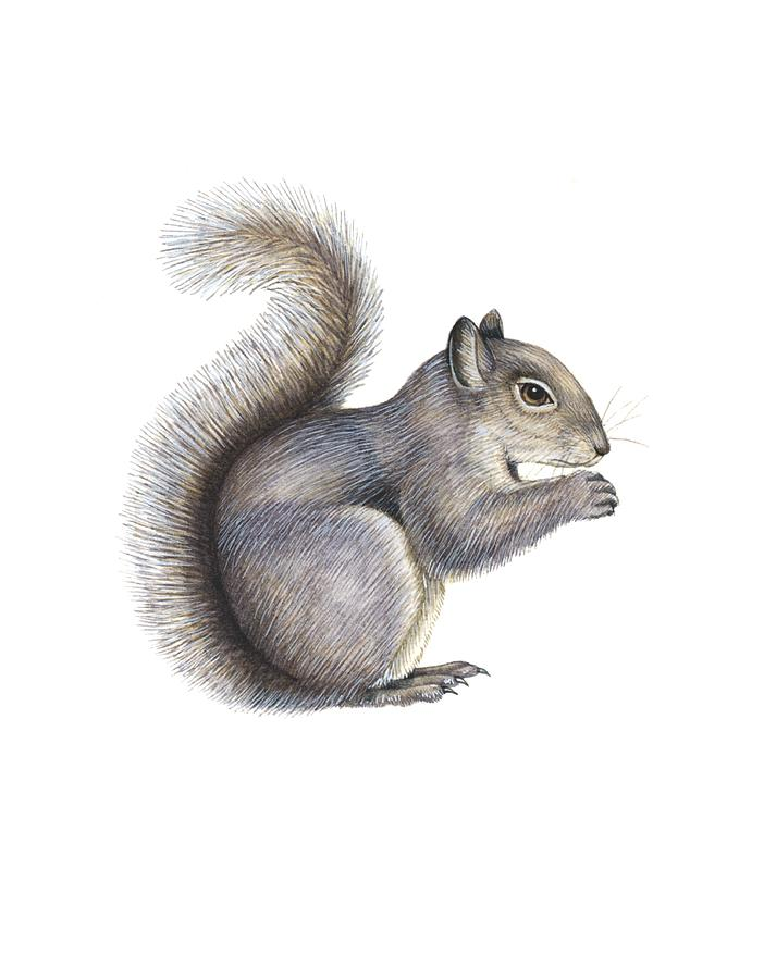 Eastern Grey Squirrel, Artwork Photograph  - Eastern Grey Squirrel, Artwork Fine Art Print