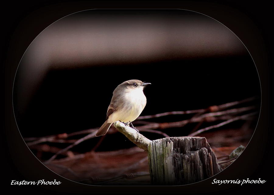 Eastern Phoebe - Sayornis Phoebe Photograph